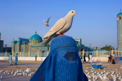 afghan dove